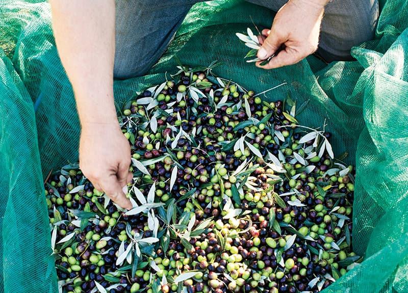 Une plantation d'olives et de vignes.