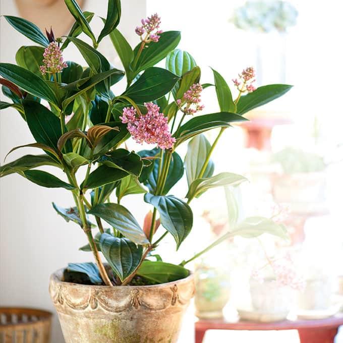medinilla plant