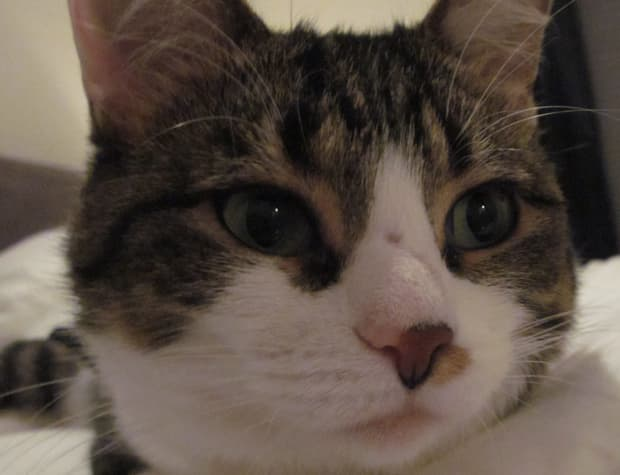 Adorable cats like Josephine will be featured at Just for Cats