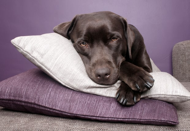 Labrador retrievers have less allergens than other dog breeds