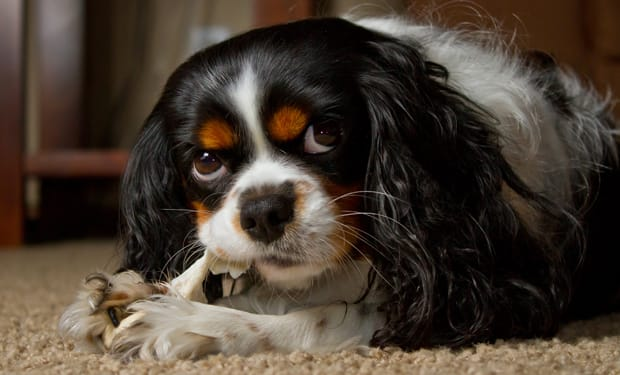 Chewing on rawhide distracts dogs from gnawing on its owner's shoes and other belongings