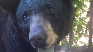 Image principale de l'article Des autocollants «TRUMP 2020» sur des ours noirs