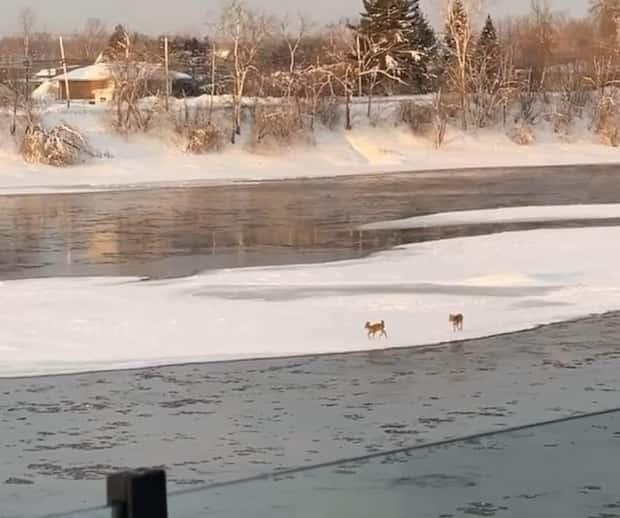 Image principale de l'article Des chevreuils pris sur la glace à Terrebonne