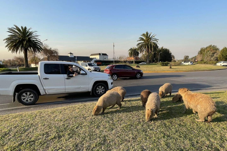 Argentine: chassés de leur habitat, des capybaras sèment la zizanie dans les beaux quartiers