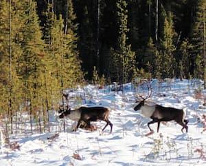 Les caribous forestiers ont besoin d'immenses forêts pour survivre en hiver. Il n'en resterait qu'une douzaine près de Val-d'Or.