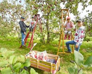Comme des milliers de Québécois,Étienne Nadeau, Janie Chartrand et leurs deux enfants Adrien et Estellesont allés cueillir des pommes au Verger Gibouleau à Laval.