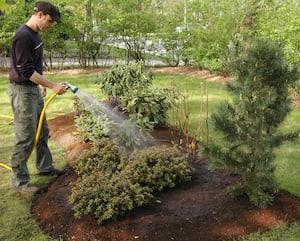 Il est nécessaire d'arroser abondamment les plantes comestibles vivaces en automne, particulièrement lorsque les pluies sont peu abondantes.