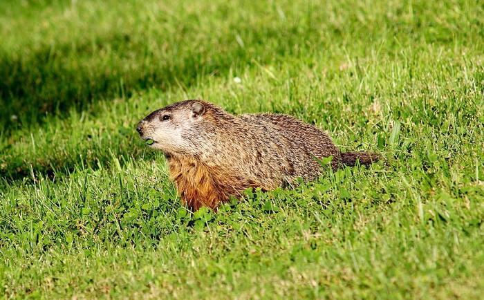 La chasse aux siffleux peut s'avérer très excitante et stimulante, surtout à grande distance.