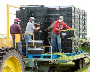 Plusieurs entreprises en Montérégie, à 60kilomètres de Montréal, emploient de nombreux travailleurs étrangers temporaires venus du Guatemala.