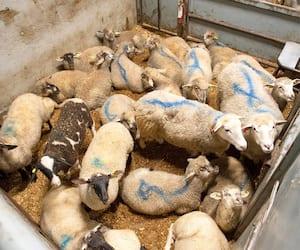 Martin Noiseux a perdu cette brebis hier matin à cause des conditions dans lesquelles le bétail se trouve lorsqu'un vétérinaire manque une journée de travail.