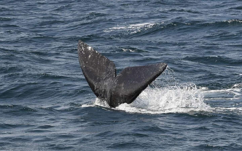 Les baleines noires de l'Atlantique Nord en voie d'extinction