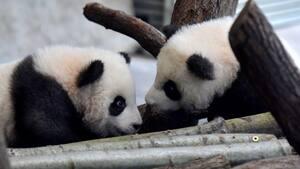 Image principale de l'article Voyez les bébés pandas nés au zoo de Berlin