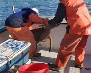 Image principale de l'article Des pêcheurs sauvent un chevreuil de la noyade