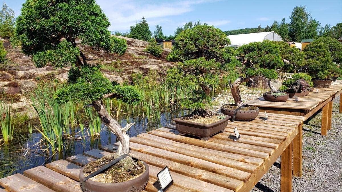 Une pépinière de bonsaïs dans Lanaudière
