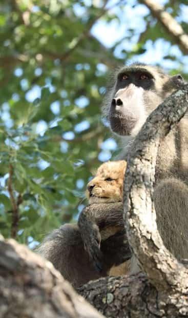 Image principale de l'article Un babouin recrée une scène mythique du Roi Lion