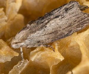 Galleria mellonella; wax moth - bee parasite