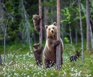 She-bear and cubs. Brown bear cubs climbs a tree. Natural habitat. In Summer forest. Sceintific name: Ursus arctos.