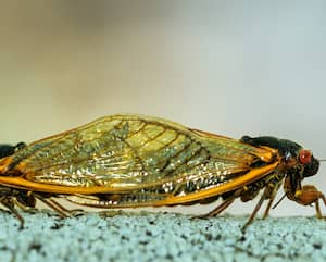 Periodic (17-year) cidadas (Magicicada sp.) mating. Periodic cicadas remain underground as nymphs from 13 to 17 years (depending on species) and then emerge to mate, lay eggs, and then die.