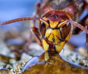 Portrait of a European Hornet while drinking. Concept protected insects.