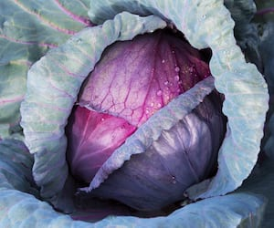 Red Cabbage close up in a farm field.