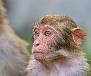 The rhesus macaque monkey (Macaca mulatta), Nanwan Monkey Island, China