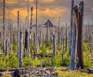 New growth and regeneration are growing among the dead pine and fir trees that burned in the B&B Complex fires that burned over 90,000 acres of forest near Sisters, Oregon