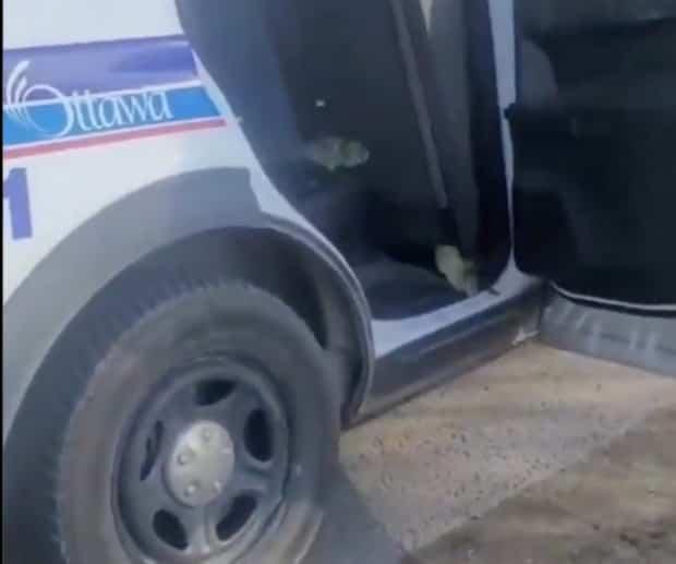 Image principale de l'article La police d'Ottawa escorte des bernaches