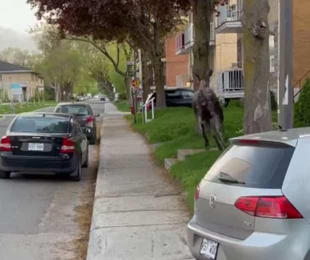 Image principale de l'article Un orignal court dans les rues de Limoilou