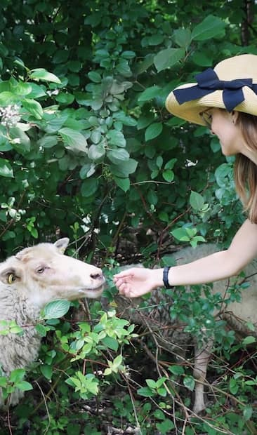 Image principale de l'article Les moutons de retour dans ce parc de Montréal