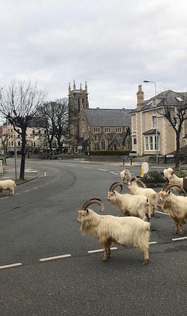 Image principale de l'article Des chèvres prennent d'assaut une ville