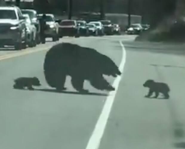 Image principale de l'article Des oursons font la vie dure à leur maman