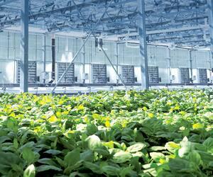 L'entreprise de Québec Medicago utilise une technologie de production sur plantes pour développer des protéines thérapeutiques.