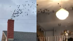 Image principale de l'article 1500 oiseaux entrent dans une maison