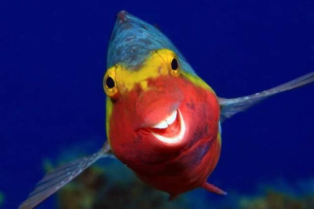 «Smiley» - Un poisson-perroquet aux îles Canaries