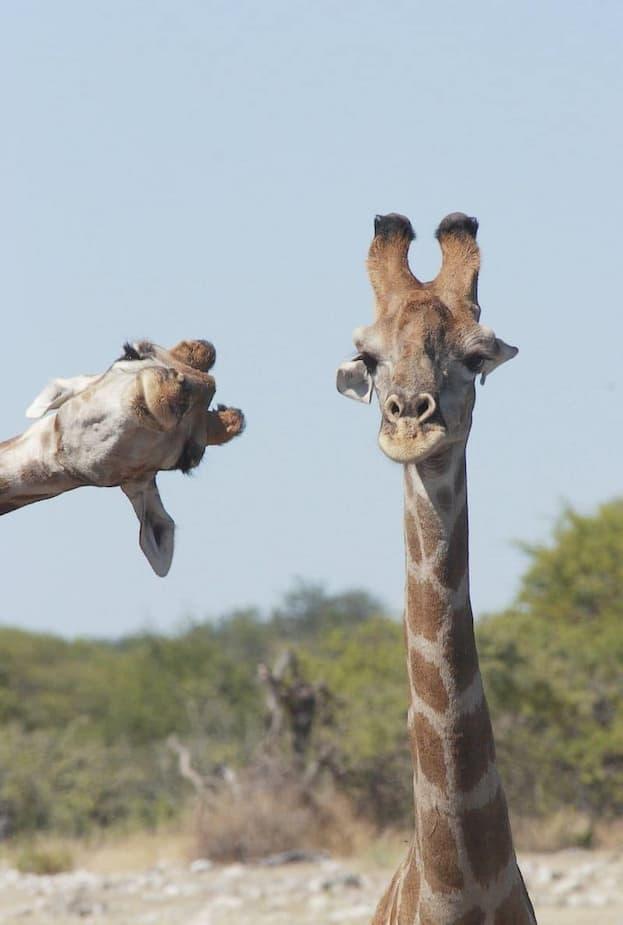 «S'immiscer dans la photo» - Des girafes au parc national d'Etosha, en Namibie