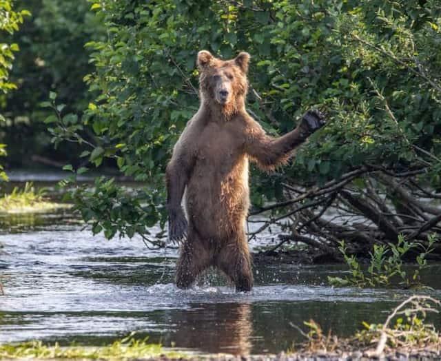 «Salut tout le monde!» - Un ours brun en Alaska