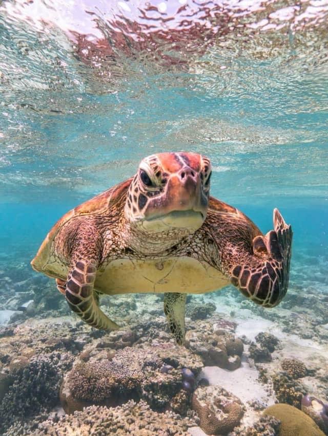 «Terry la Tortue fait un doigt d'honneur» - Queensland, Australie