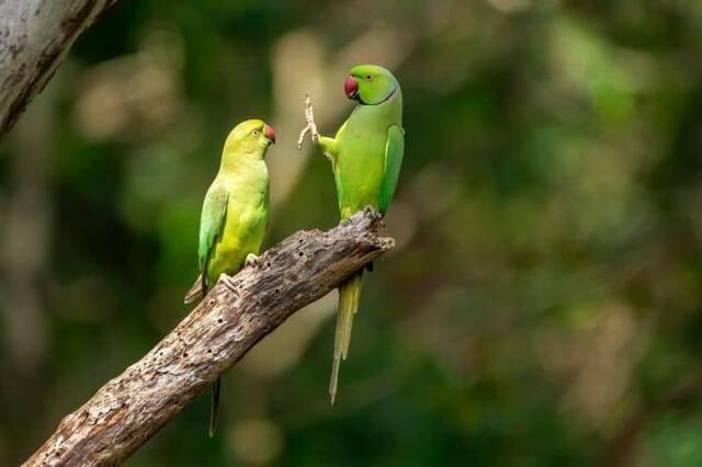 «Distanciation sociale, svp» - Des perruches à collier au parc national Kaudulla, au Sri Lanka