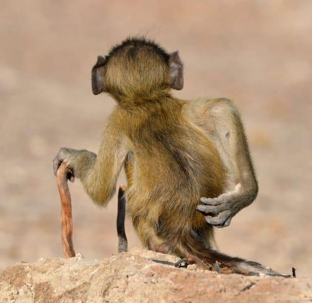 «Sociallement désinhibé» - Un babouin chacma à la rivière Chobe, au Botswana