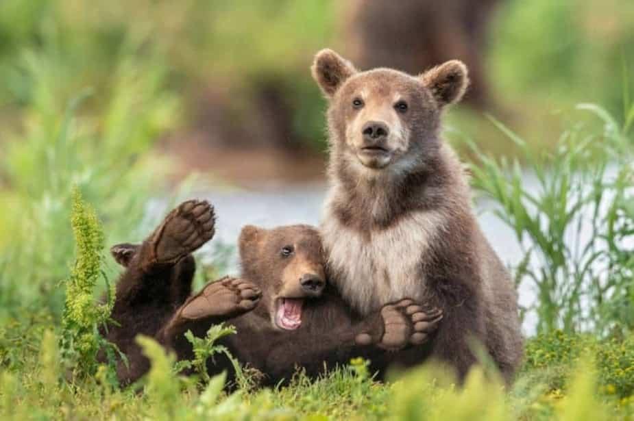 «On a tous ce genre d'ami» - Des ours bruns au Kamchatka, en Russie