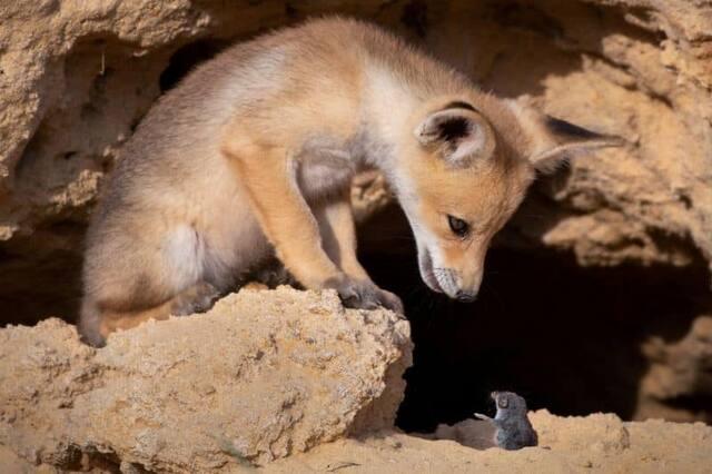 «Rudes négociations» - Un renard et un rongeur en Israël
