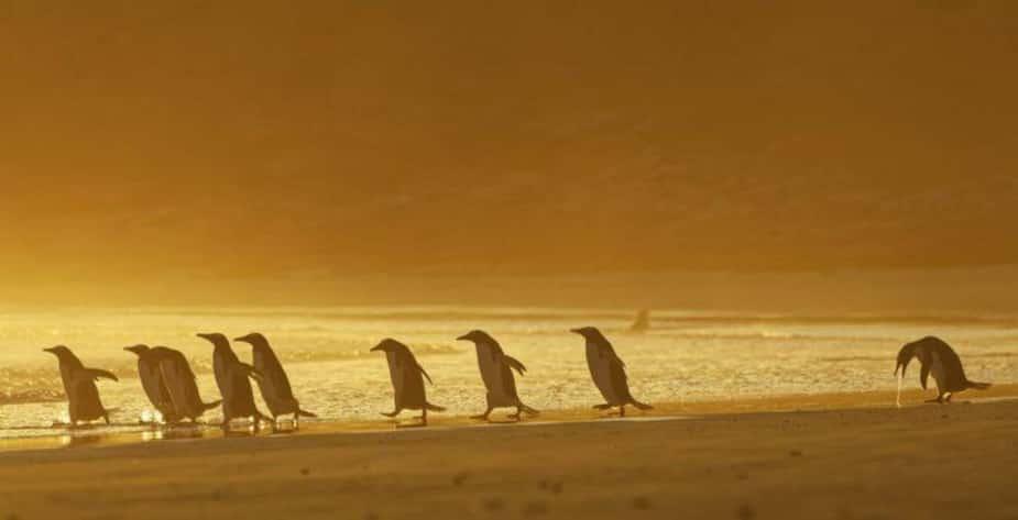 «Je pourrais vomir» - Des pingouins Gentoo aux îles Falkland