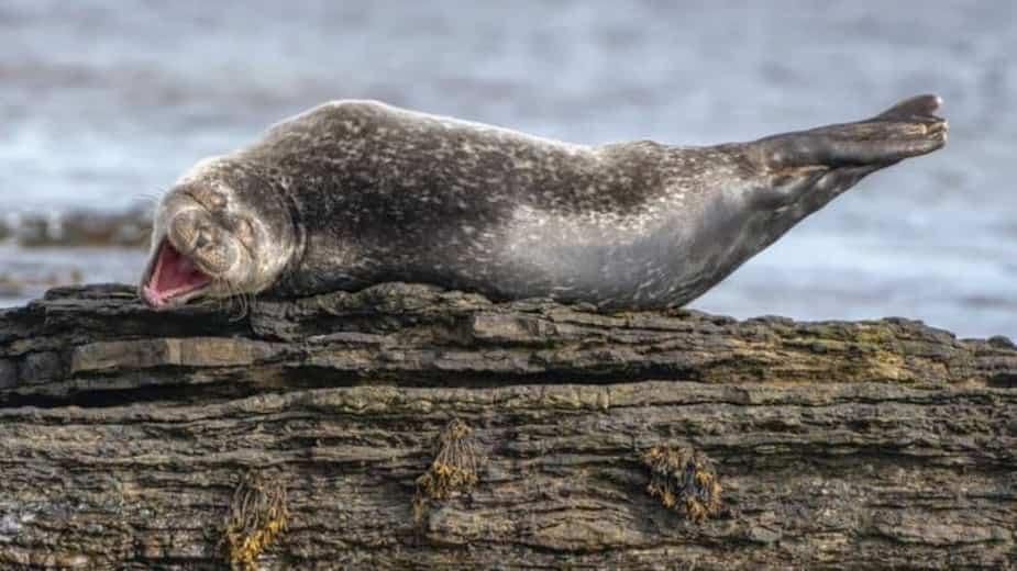 «Se bidonner» - Un phoque à Caithness, en Écosse