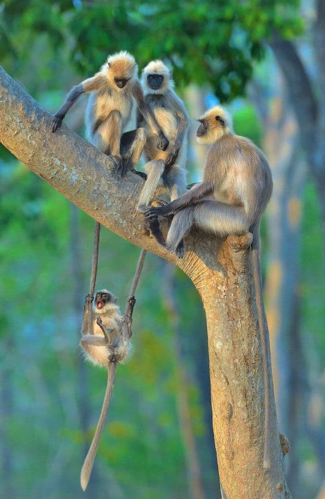«Du plaisir pour petits et grands» - Des langurs en Inde