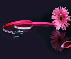 The concept of mourning. Pink gerbera on a dark background, collar and leash of a pet. We remember our beloved friend, we mourn. Selective focus, close-up, side view, copy space.