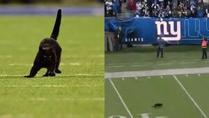 Image principale de l'article Un chat fait irruption sur un terrain de football