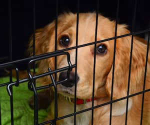 Cocker spaniel pup in her crate