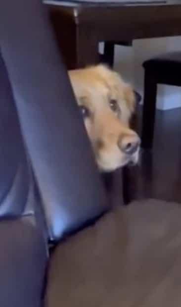 Image principale de l'article Un chien va se cacher en voyant Darth Vader