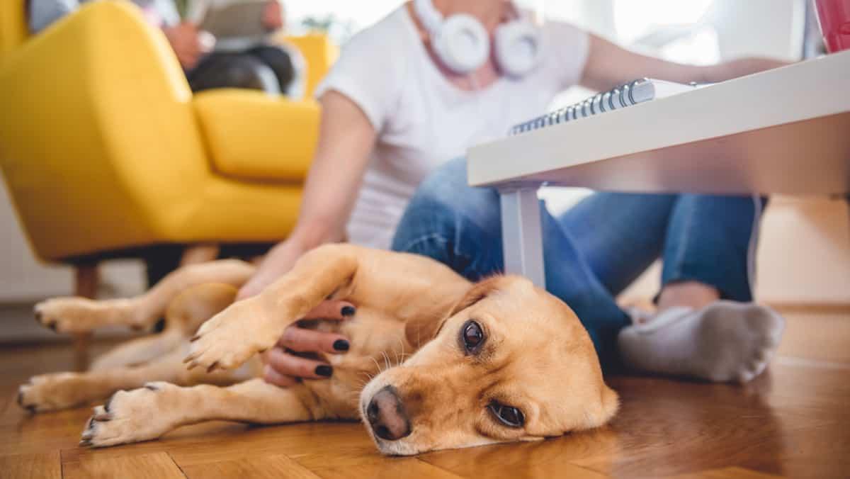 Vivre En Appartement Ou En Maison les 10 races de chiens les plus casaniers, qui peuvent vivre