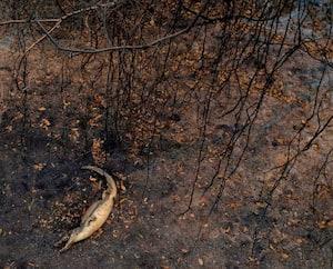 Dans le delta du Parana, autre vaste zone humide et réservoir de biodiversité, les feux ont frappé dès janvier, avec une intensité sans précédent. Ici, une carcasse d'alligator.